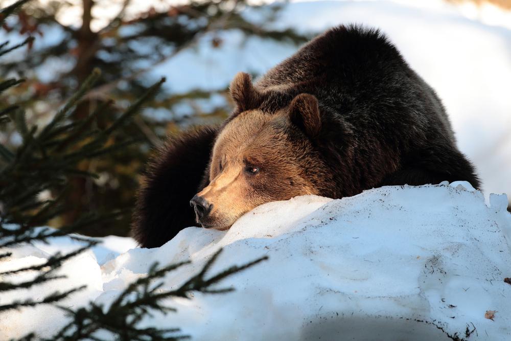 Ursul brun carpatin